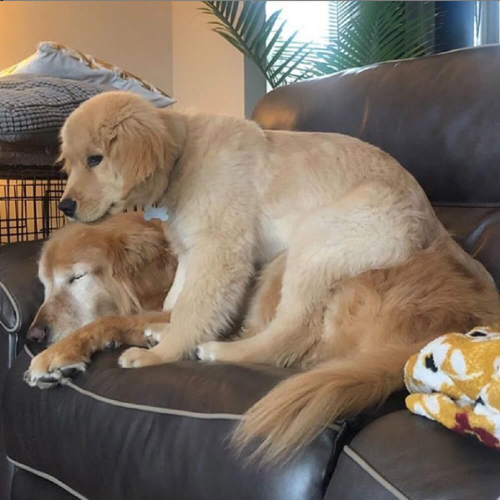 golden cego close 3 - Um Golden cego ganhou um cão guia filhote e viralizou no instagram