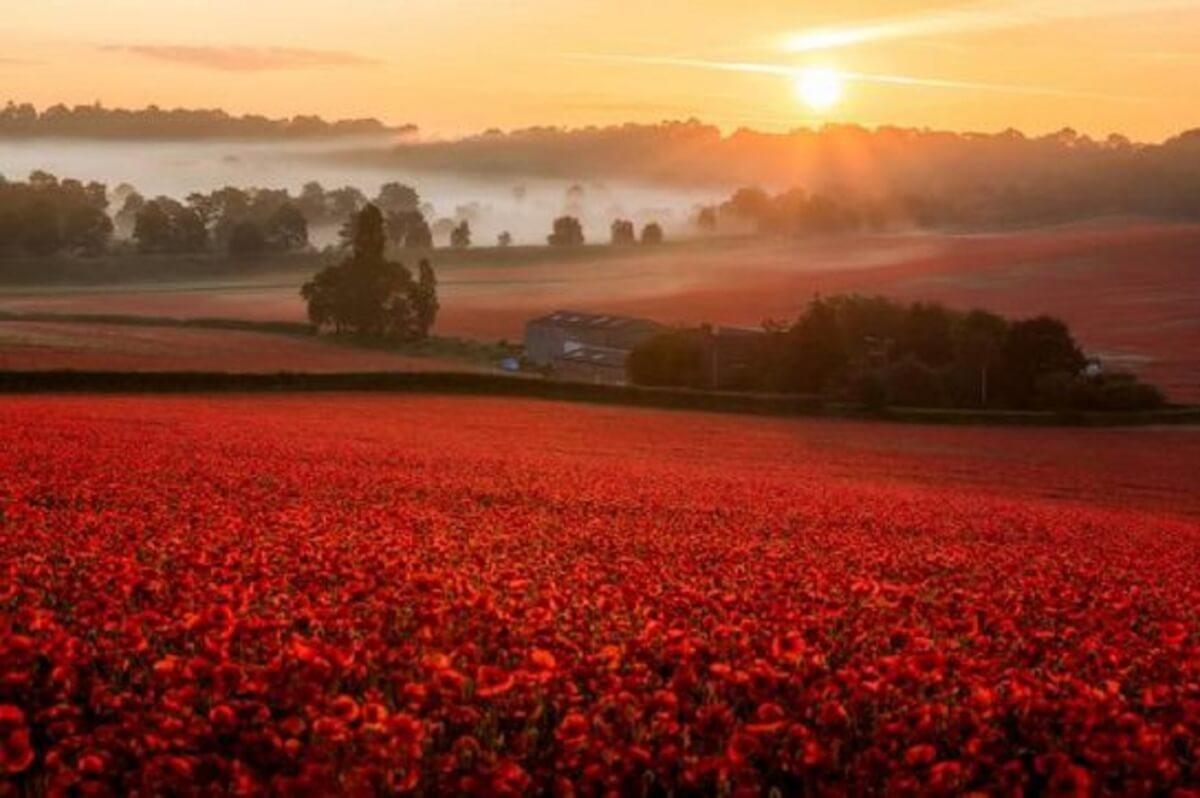 misty poppy field 3 swns 545x363 - Depois de anos sem flores, o primeiro desabrochar rouba a cena em fazenda da Inglaterra!