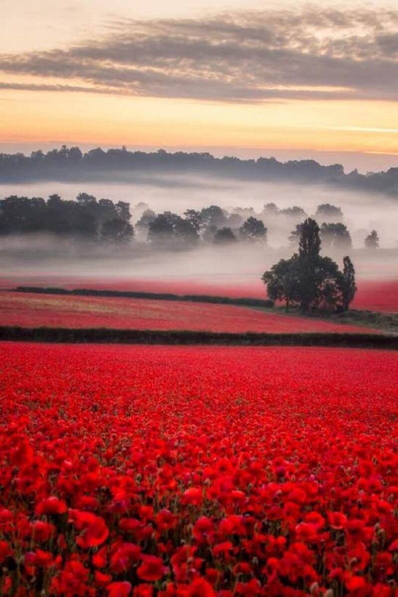 misty poppy field 5 swns 545x818 - Depois de anos sem flores, o primeiro desabrochar rouba a cena em fazenda da Inglaterra!