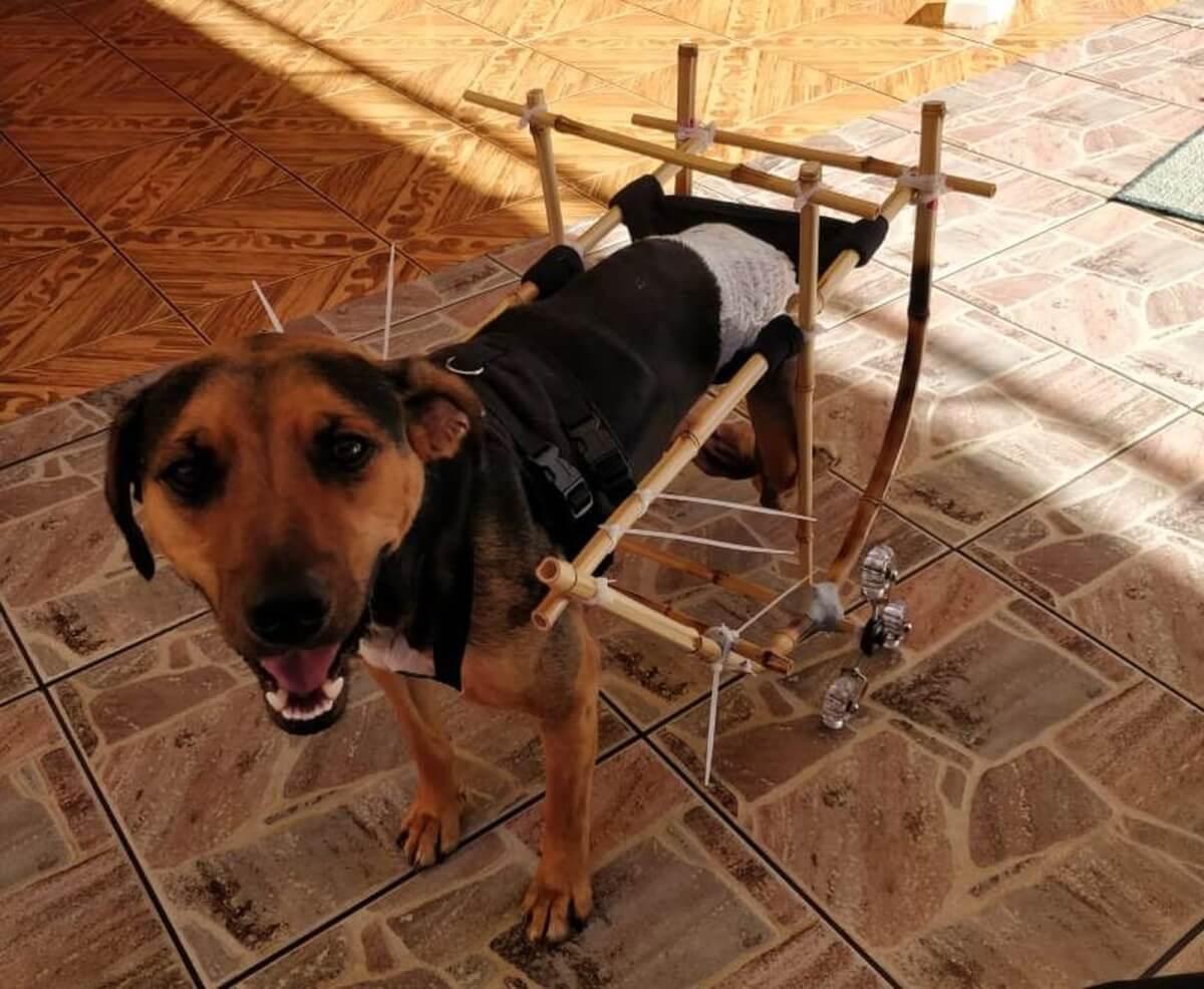 lucas donaduzzi - Rapaz cria cadeira de rodas para cachorro feita de bambu e emociona nas redes sociais!
