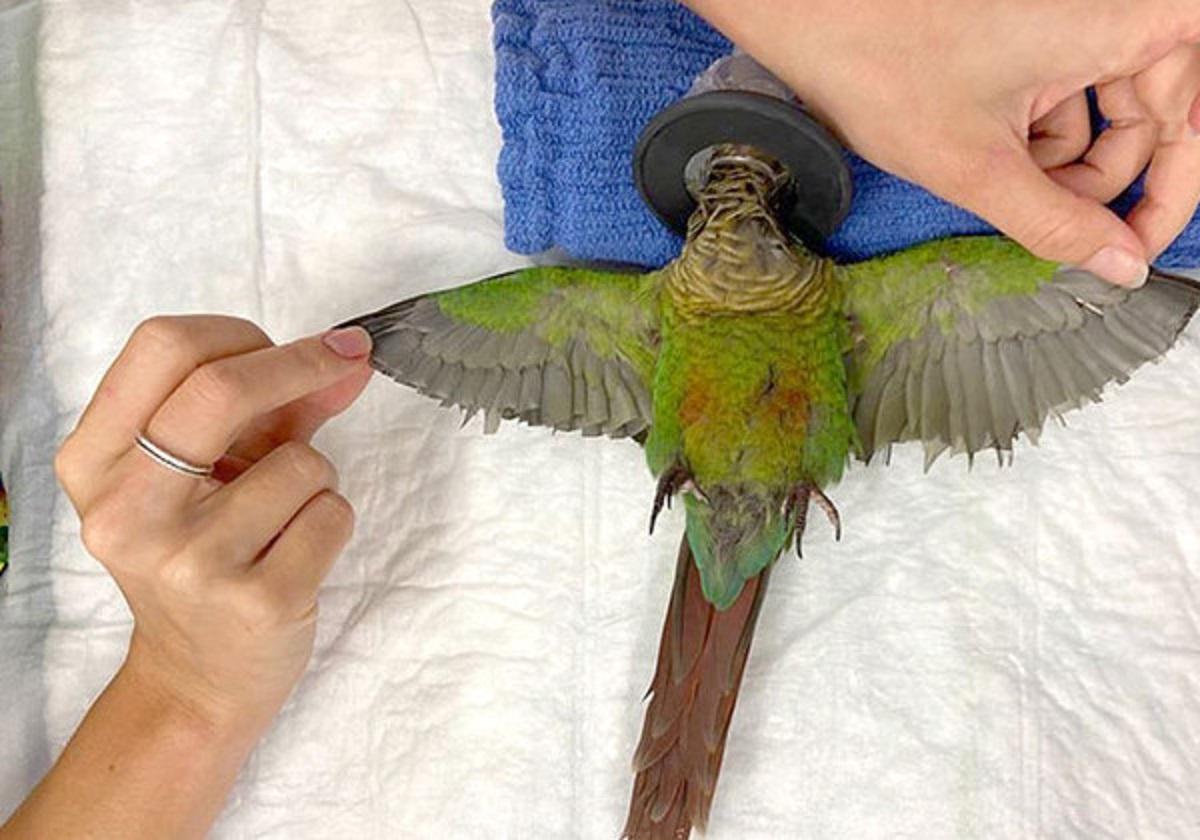 papagaio asas1 - Veterinária cria asas para Papagaio mutilado poder voar