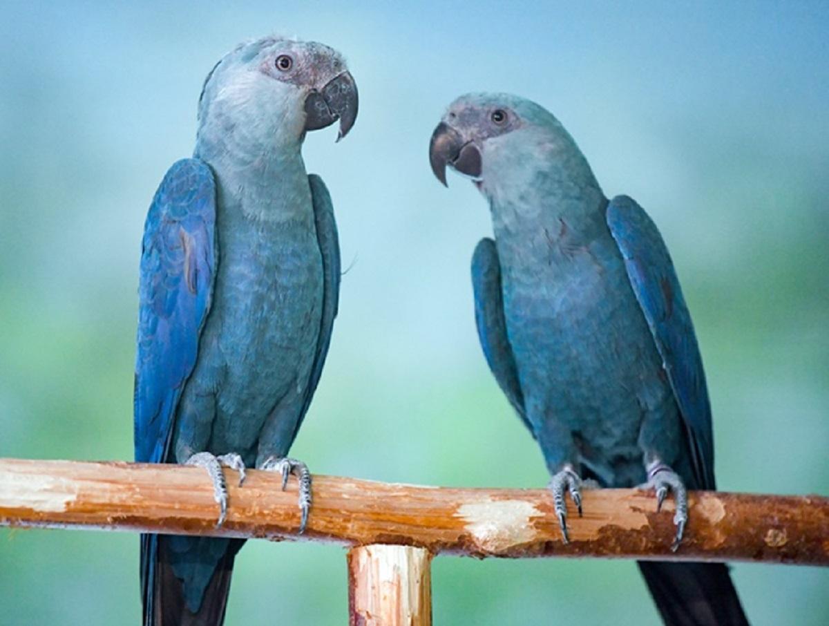 ararinha 00 - Após periodo de 20 anos em extinção, Brasil recebe 50 filhotes de araras-azuis