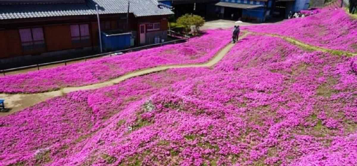 campo de flores dos kuroki scaled - Para alegrar esposa cega, marido passa 2 anos plantando flores!