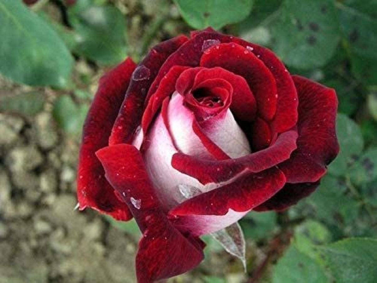 rosa osiria e1593143122580 - Conheça a Rosa Osíria: uma flor híbrida que vem encantando o mundo!