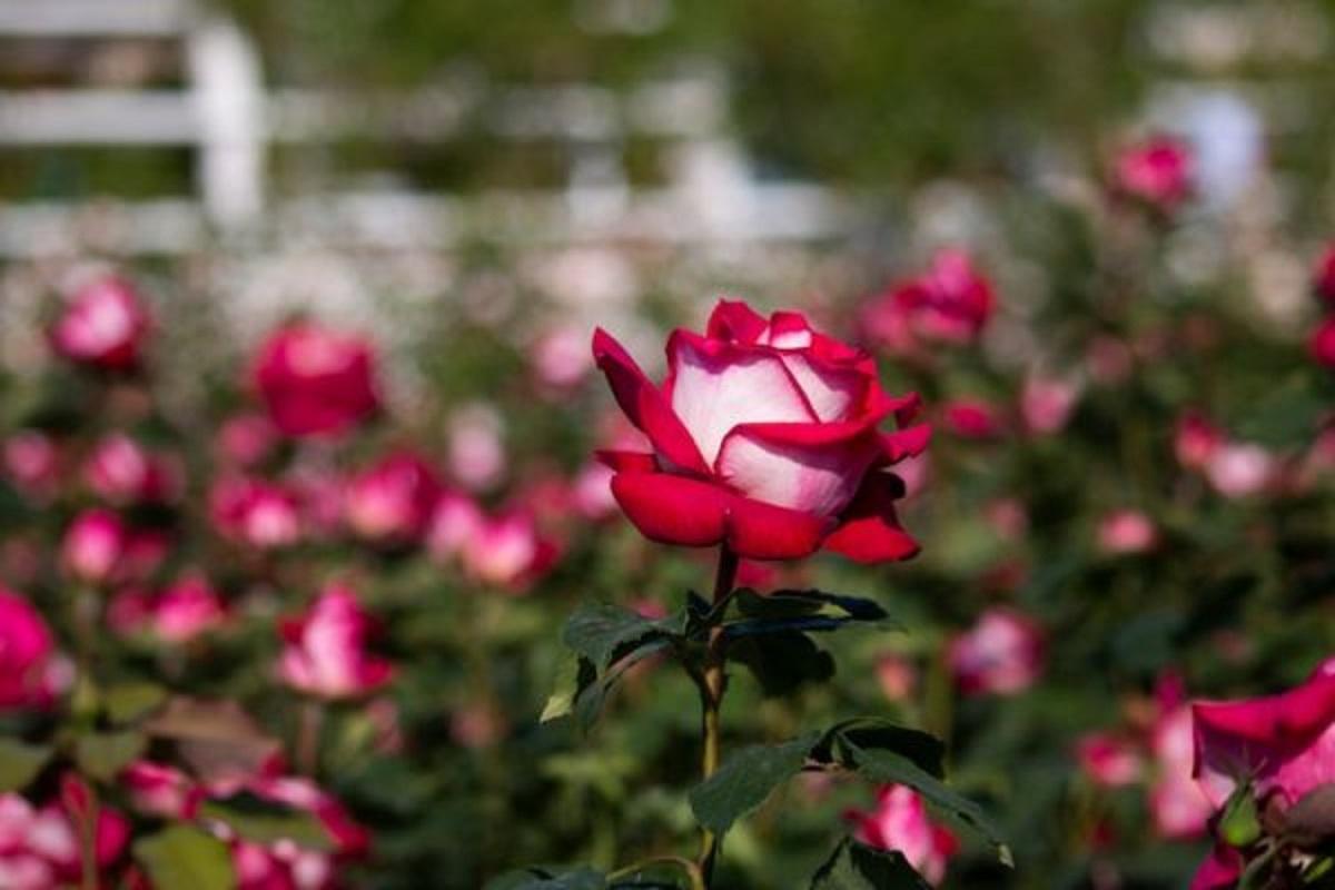 rosa osiria longe e1593143617750 - Conheça a Rosa Osíria: uma flor híbrida que vem encantando o mundo!