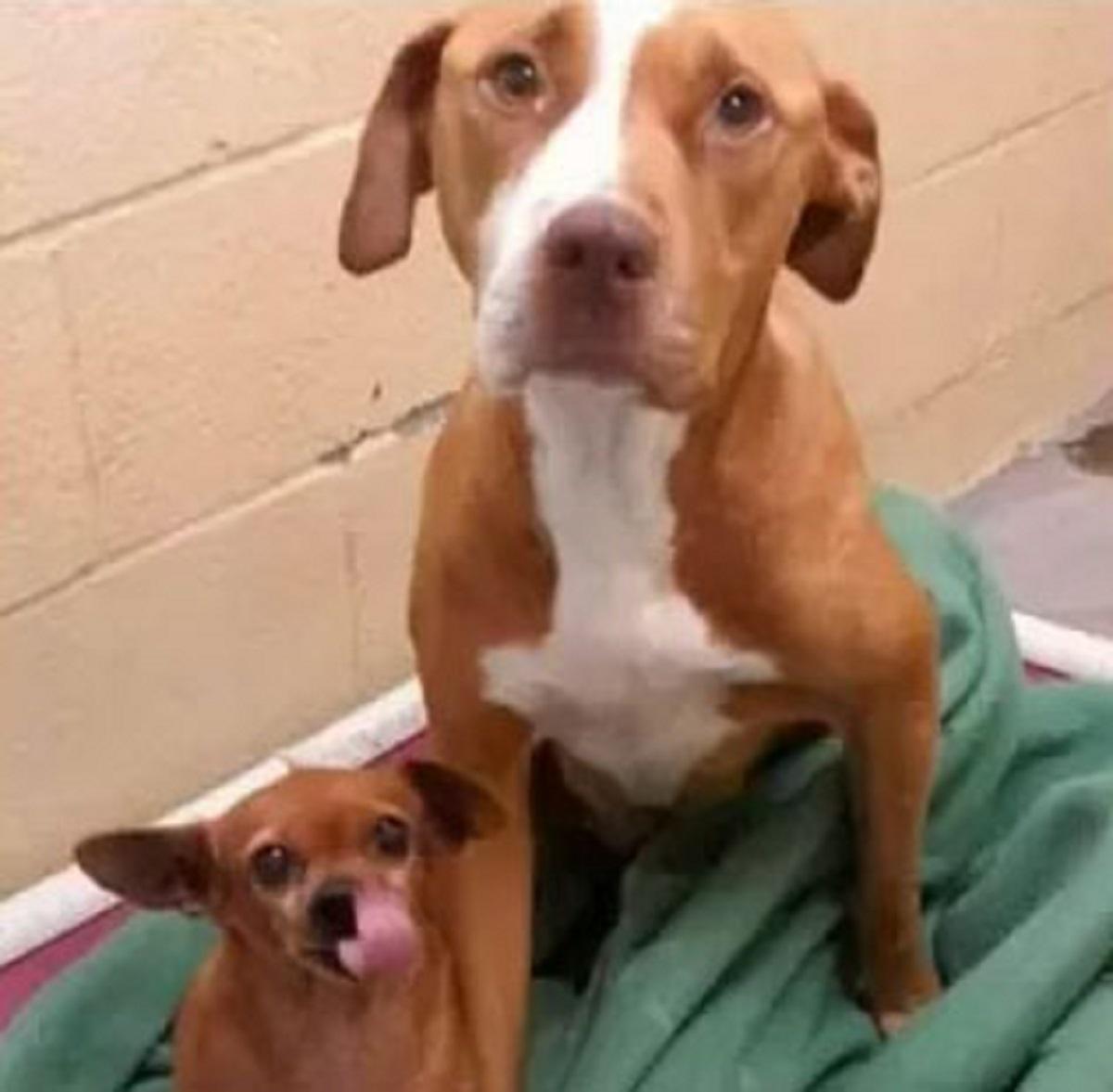 piit bull chihuahua3 - Pitbull e Chihuahua são tão inseparáveis que foram adotados juntos!