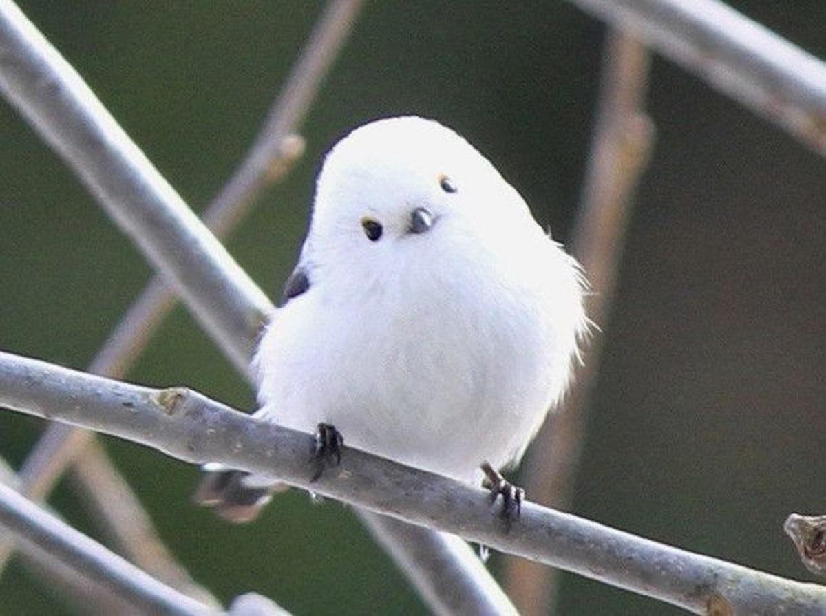 eabe583b4669d48c77f65901b827294d - FOFURA: Conheça Shima Enaga, o pássaro japonês que parece uma bolinha de algodão!